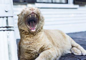 cat_teeth